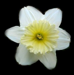 narcis-ice-follies